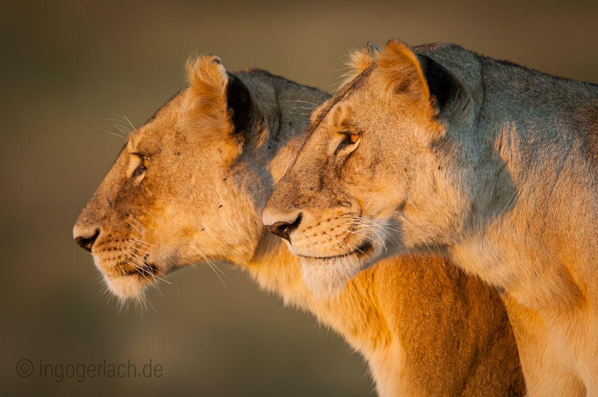 Sisters. | Masai Mara | Kenya |  More www.shop.ingogerlach.de
