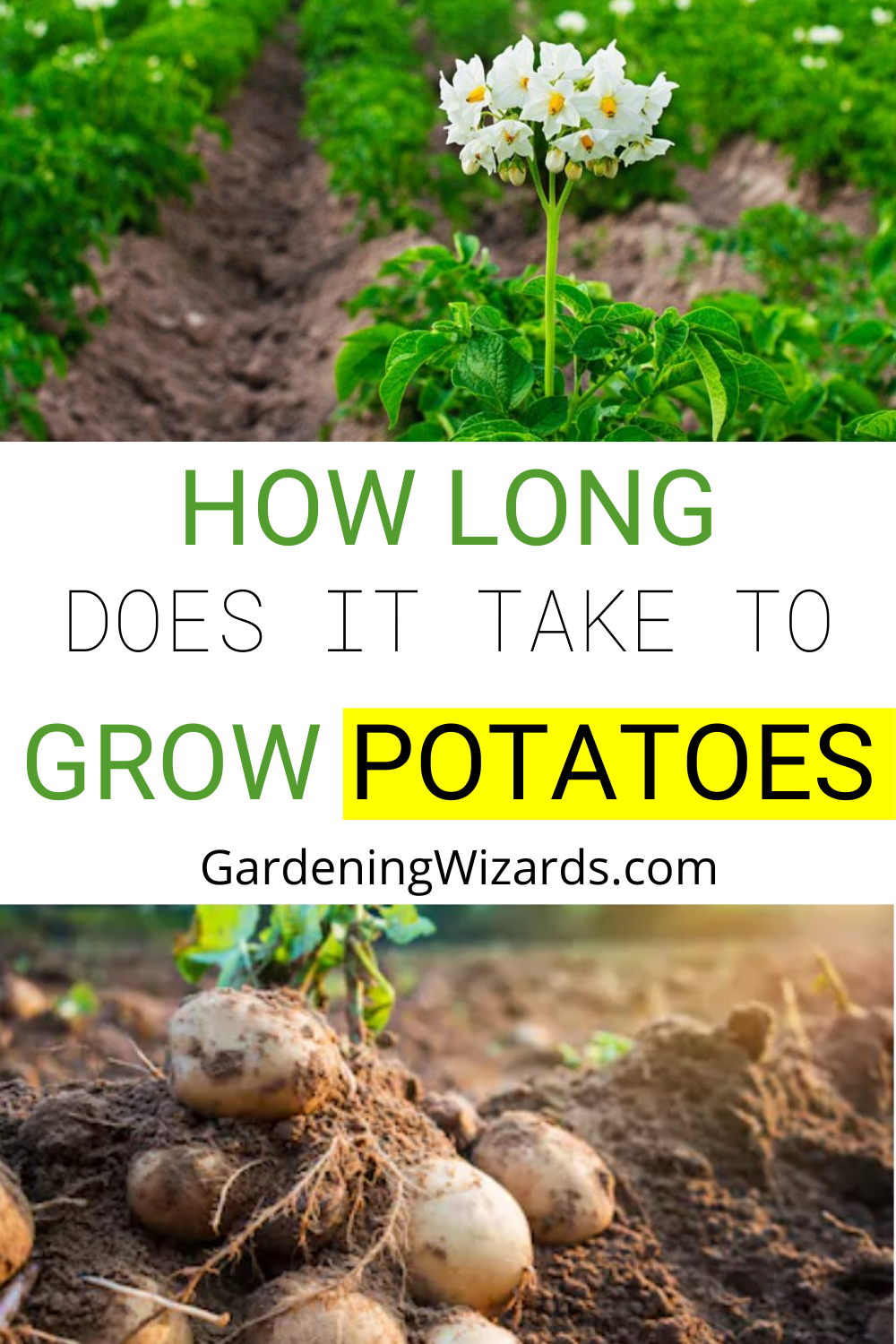 How Long Does It Take To Grow Potatoes Grow A Healthy Yield Of Potatoes With No Fuss Growing Potatoes Survival Gardening Potatoes