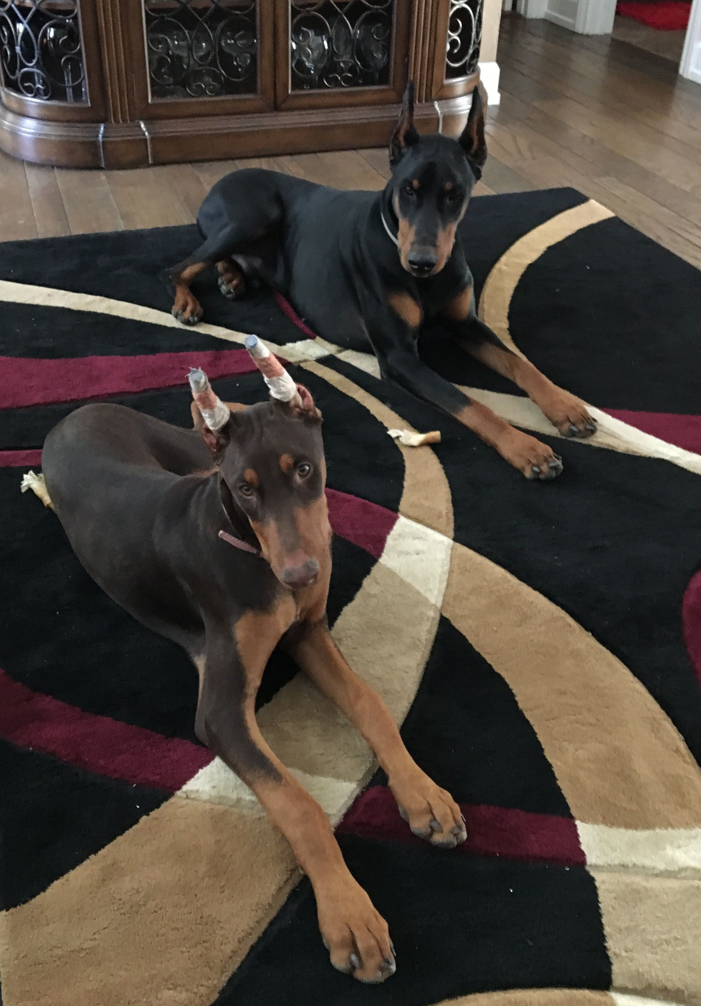 Pin By Mita Block On My Dangerous Dogs Doberman Pinscher Doberman Dog Lovers
