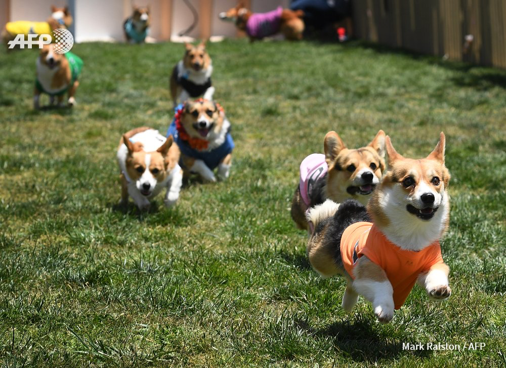 The Daily Corgi Southern California Spring Corgi Beach Day S Comin Up Corgi Corgi Animals Dog Beach