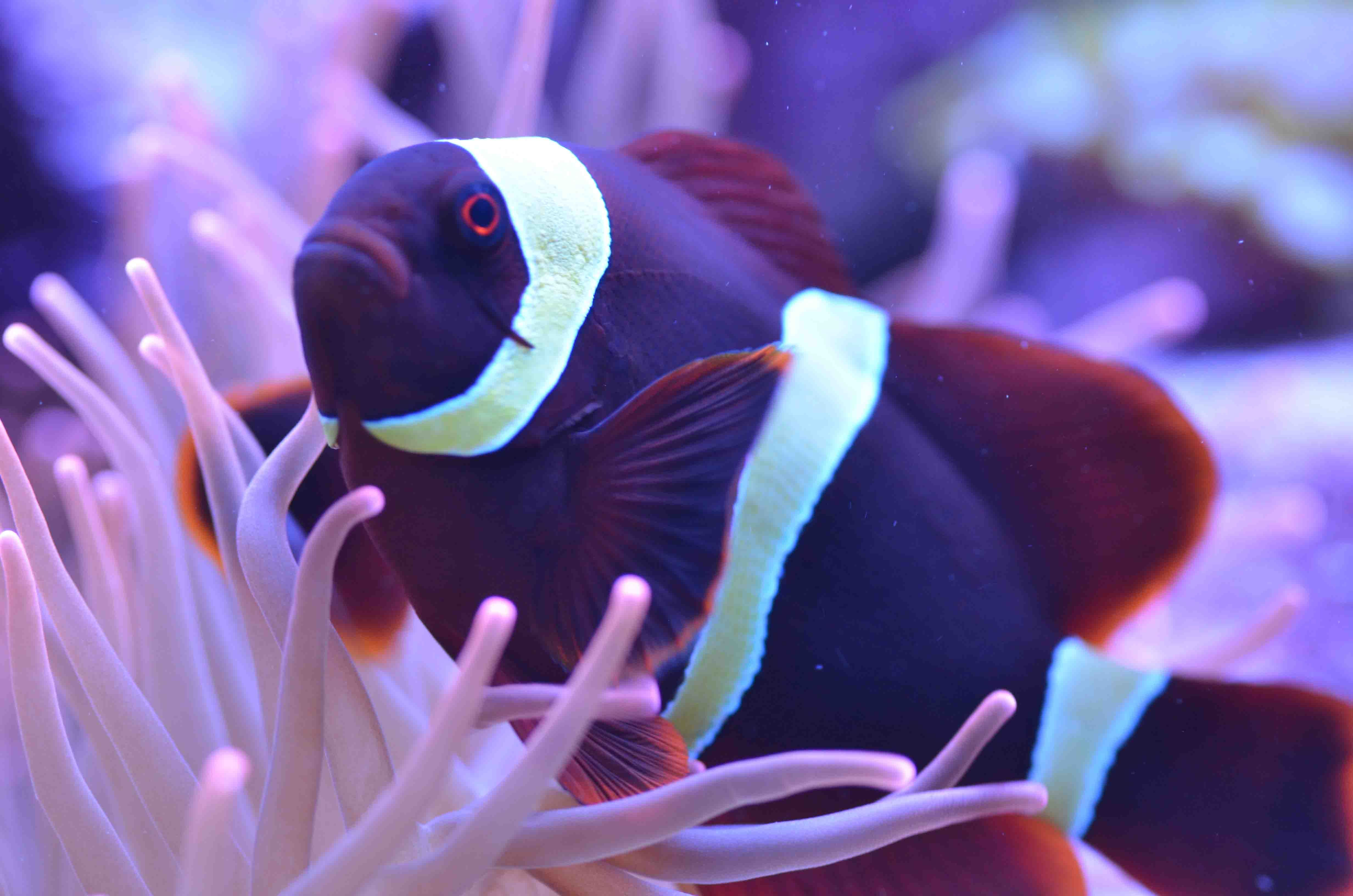 Clownfish HD Wallpaper