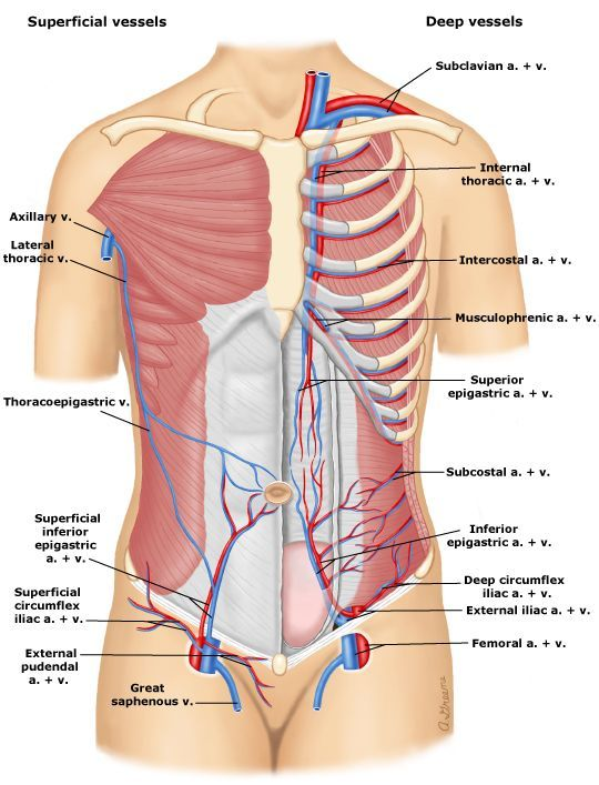 The Superior And Inferior Epigastric Arteries Provide A Rich Arcade