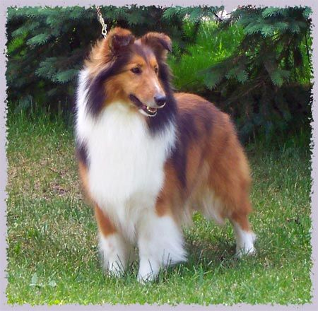 Mahogany Sable Rough Collie Google Search Rough Collie Collie
