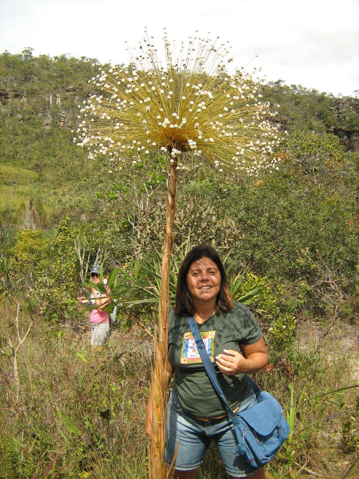 Flor Sempre Viva Caracteristica Do Cerrado Chapada Dos Veadeiros