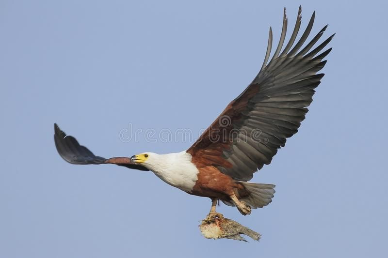Flying African Fish Eagle With Fish Flying African Fish Eagle With A Fish Photo Aff Fish Eagle Flying African Fish Ad African Eagle Fish