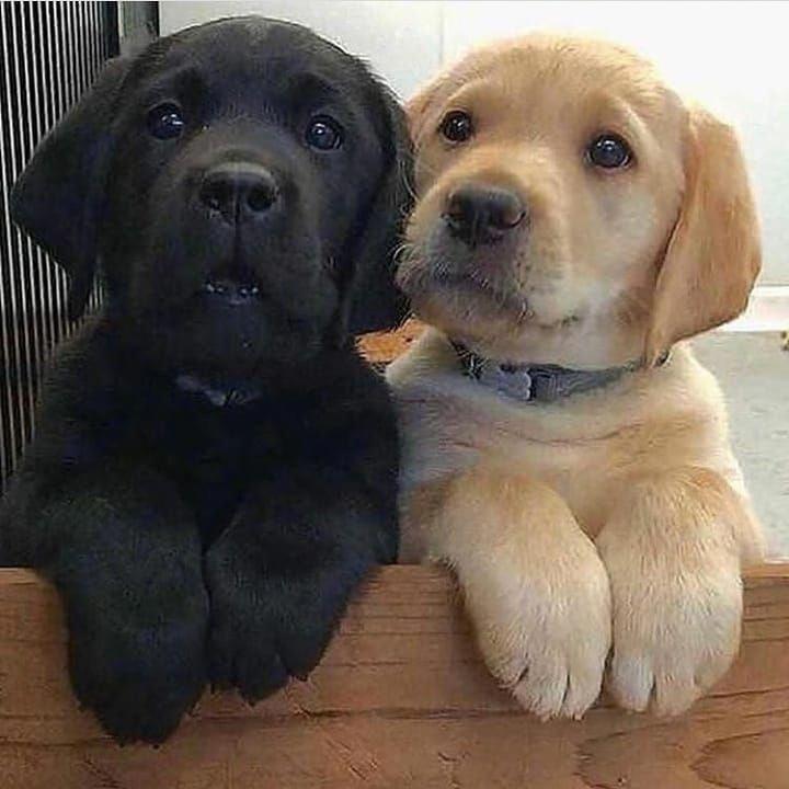 Labrador Retrievers Dogs And Kids Labrador Retriever Dog Puppies