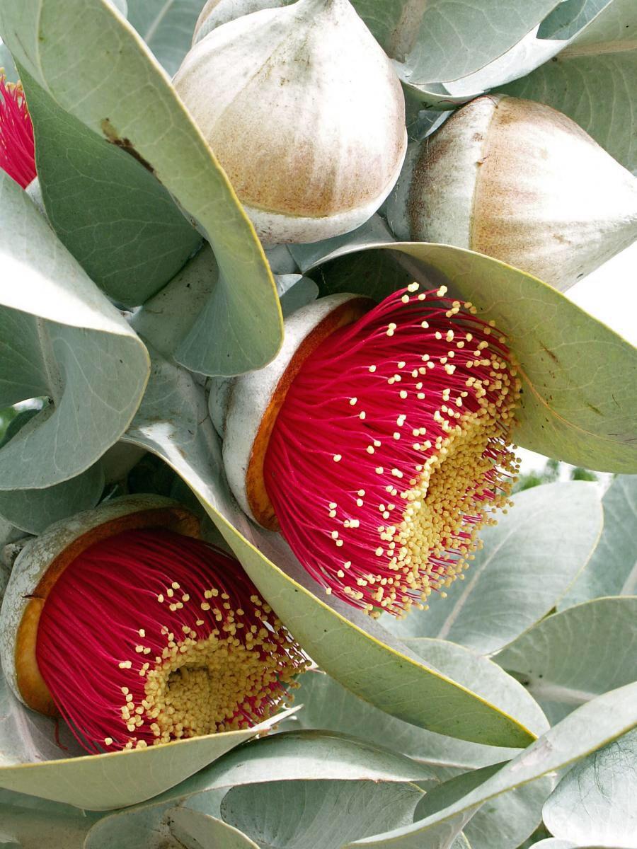 Mottlecah (Eucalyptus macrocarpa) Gum trees 1 Unusual