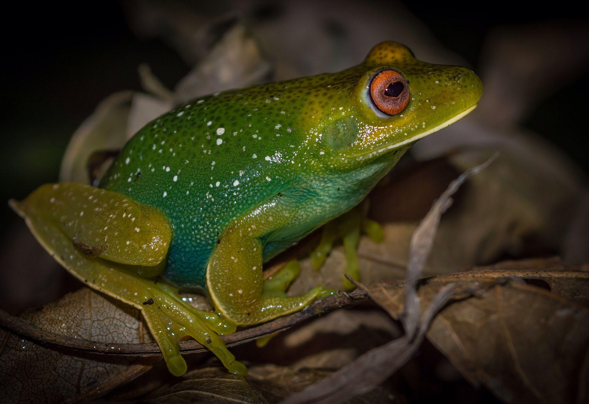 Muppet Frog - Atlantic Forest Frog