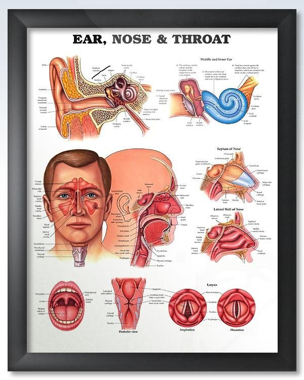 Ear Nose Throat 20x26 Anatomy Poster Products Pinterest