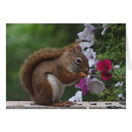 Red Squirrel Birthday Card Red Squirrel