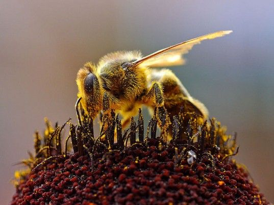 Bee collecting pollen. Great Picture!