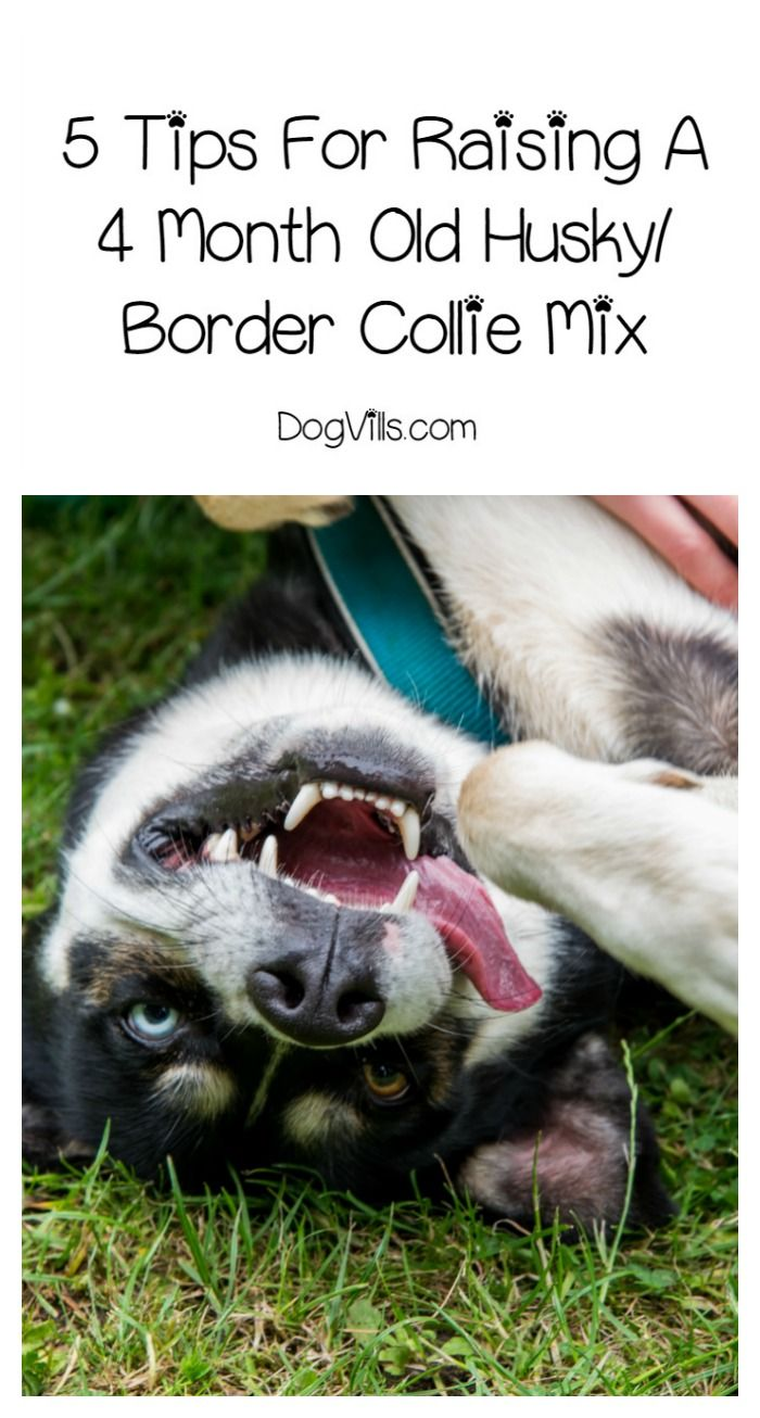 Raising A Husky Border Collie Mix Is A Challenge If You Don T Understand The Breeds Check Out 5 Tips That Every Dog Husky Collie Mix Collie Mix Border Collie