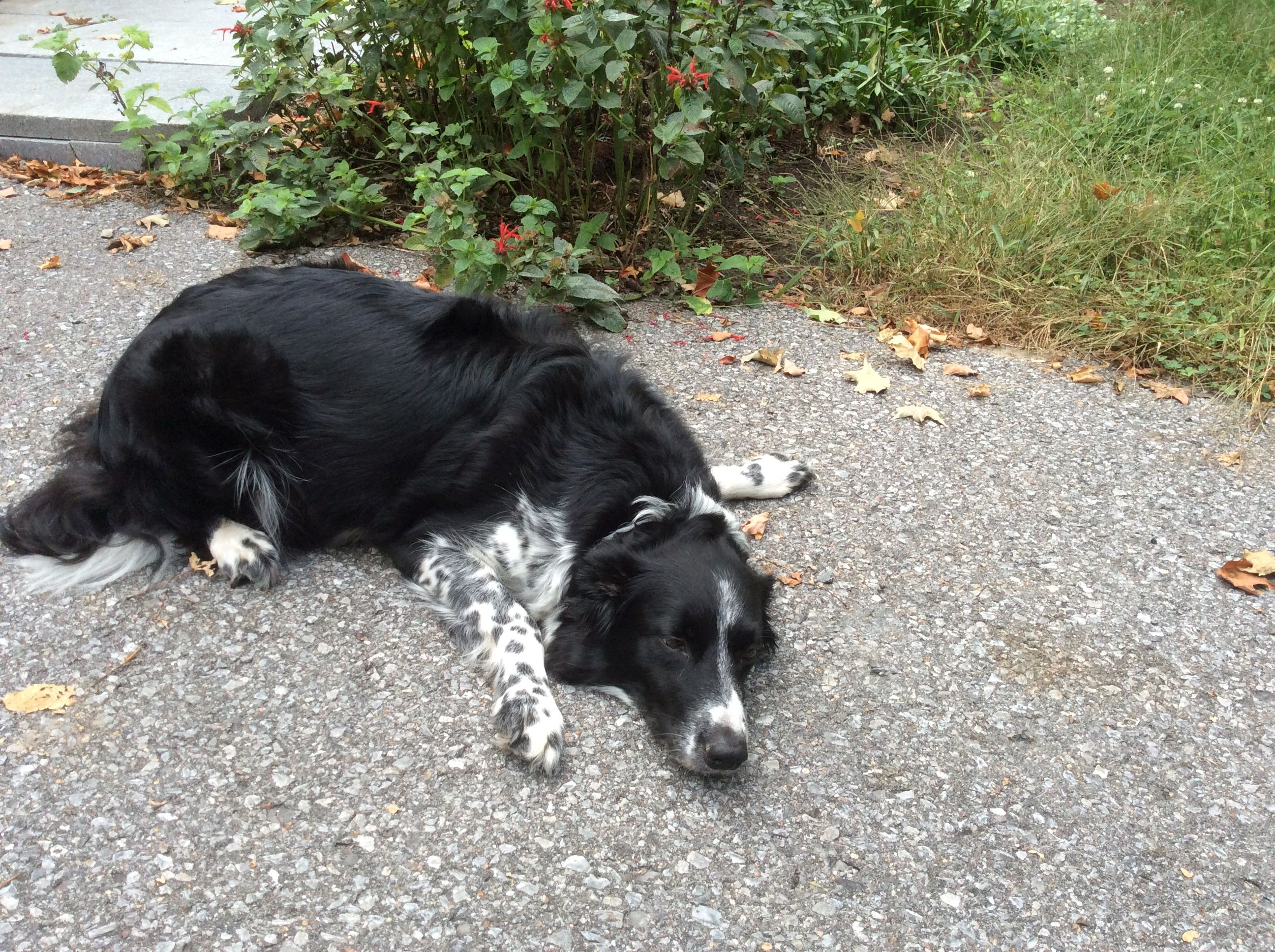 Being Pregnant Is So Exhausting Border Collie Collie Pure Bred