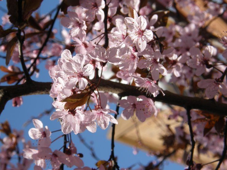 Best Time To See Cherry Blossom In Victoria British Columbia 2021 Cherry Blossom Blooming Trees Cherry Blossom Festival