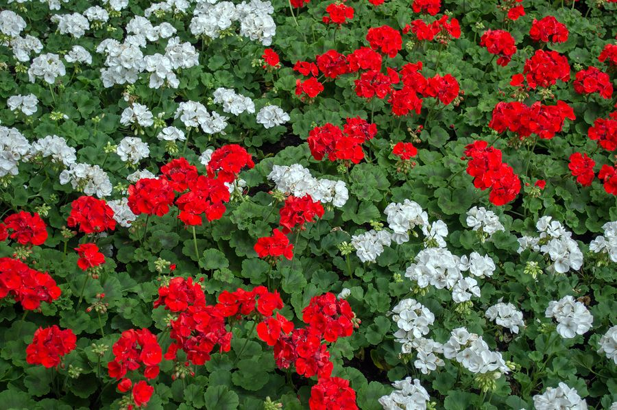 Geraniums not only stand-up well to heat, they attract hummingbirds as well.