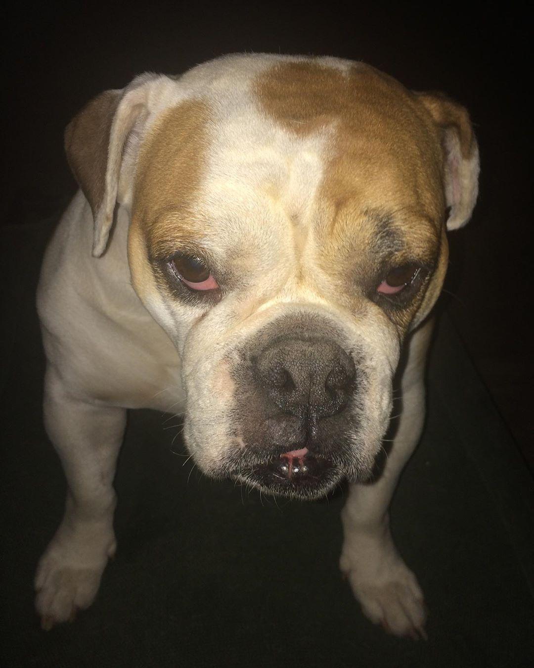 Follow Us For More DADA bulldogbulldogs