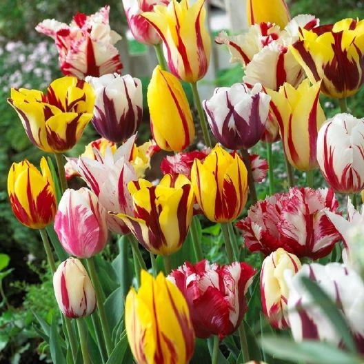 Remembrandt Mixed Tulip Bulbs Buy Tulip Bulbs In Bulk At Edenbrothers Com Tulipanes Flores Exoticas Flores Exoticas Del Mundo