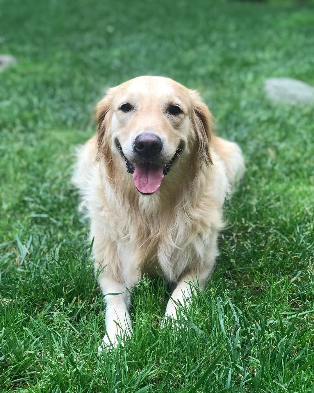 No Text In 2020 Pets Golden Retriever Dogs
