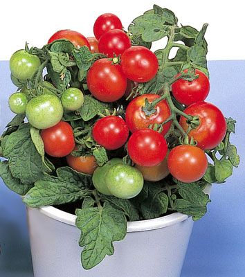 Red Robin Tomato Can Be Grown In A