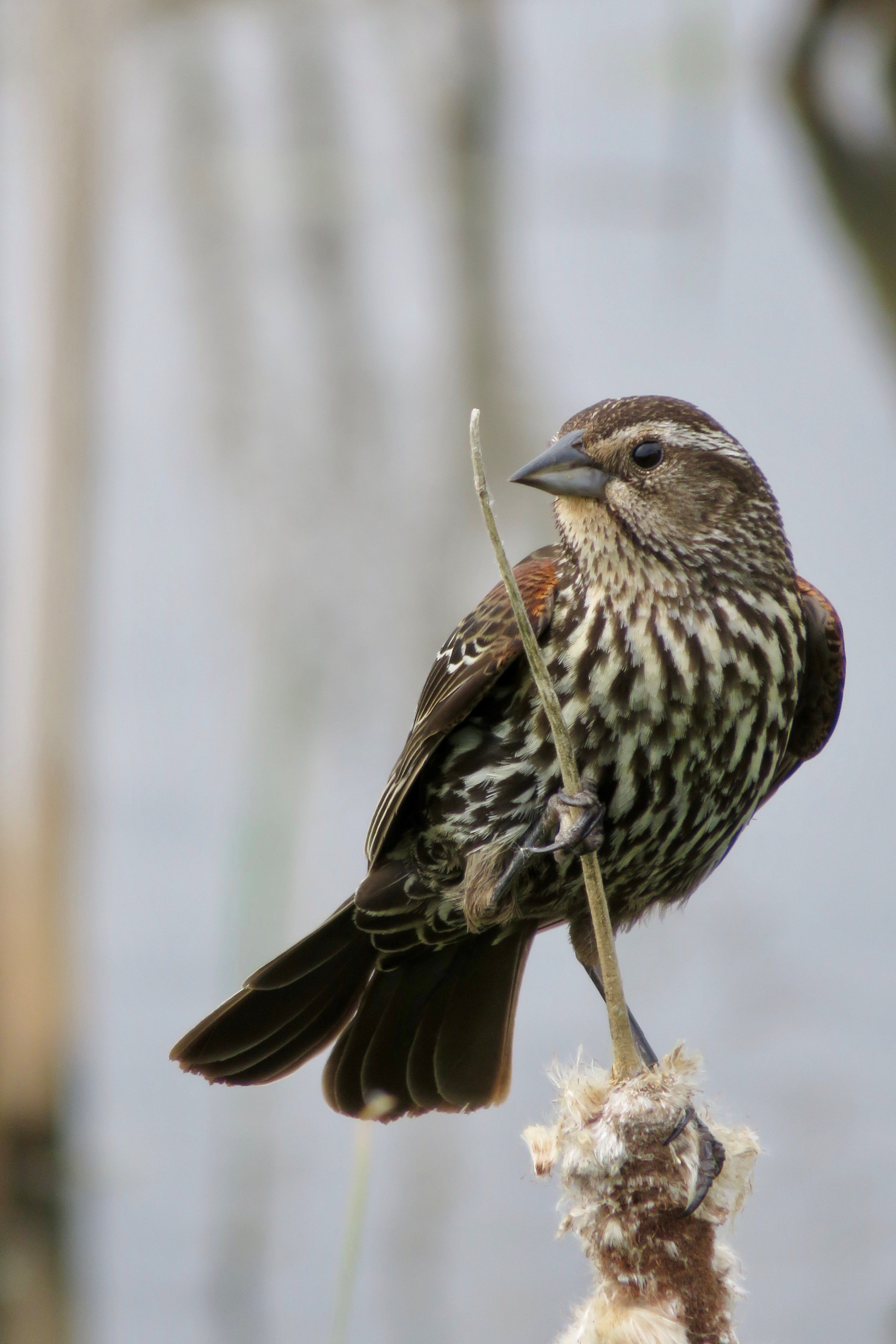 Female Red Winged Blackbird Photo By Jean Kringle Of Belleville