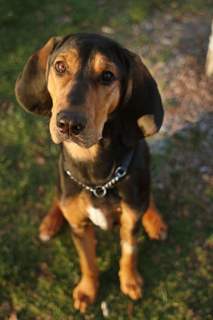 Black and Tan Coonhound (mit Bildern) | Hunde