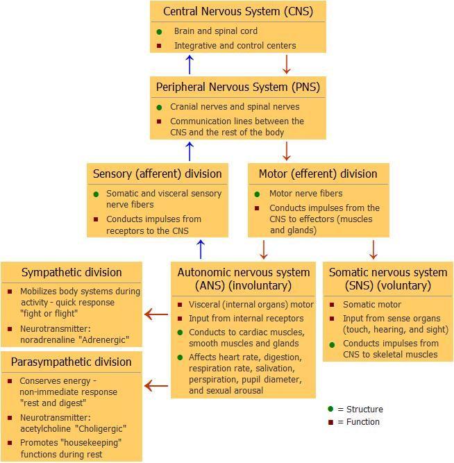 Autonomic nervous system chart nervous system organization chart autonomic nervous system chart nervous system organization chart httpmy msanatomynervous ccuart Image collections