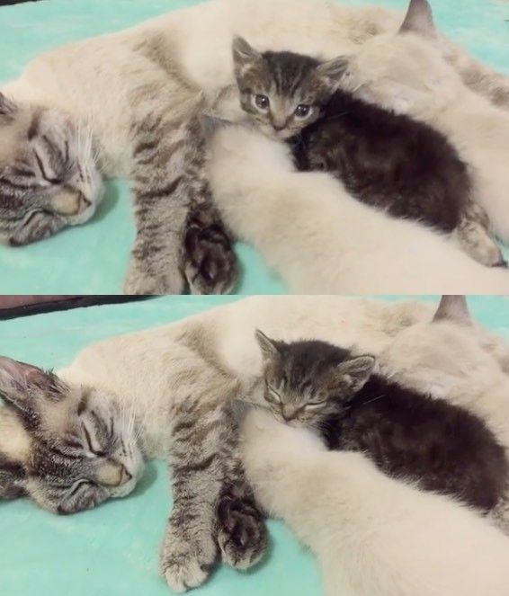 Tiny Kitten Orphaned at 1 Day Old Wouldn't Let Go of His New Mom