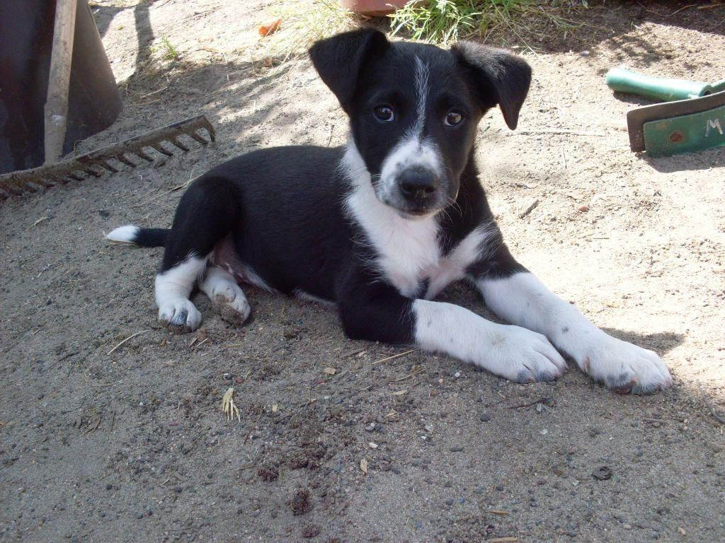 29 Awesome Border Collie Jack Russell Mix Images Jack Russell Border Collie Mix Puppies Puppies