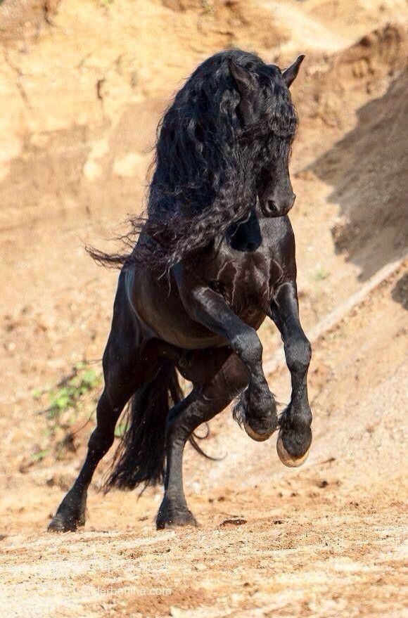 Horse Running With Beauty And Power Shiny Black Coat And Long