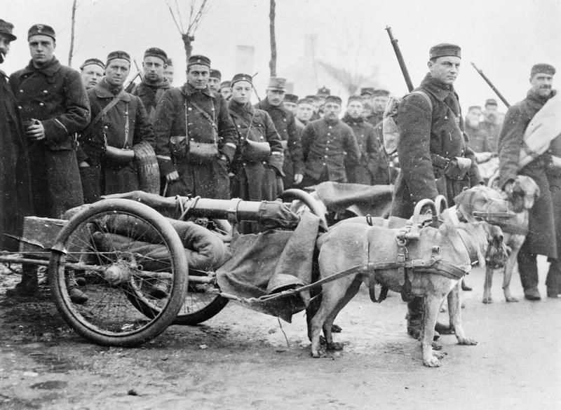 dog drawn gun carriages are used by belgian troops to transport machine guns on the western front 5 december 1914