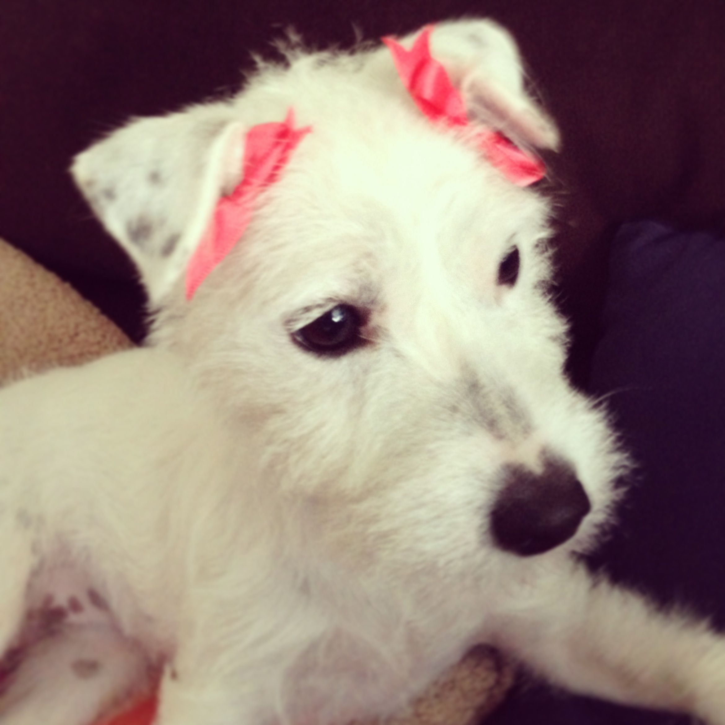 Pippa with bows!   #pippa #jrt #jackrussell