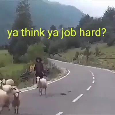 New Funny Gif Do you think you're job is harder than this Sheep job hardly video follow us for more 5