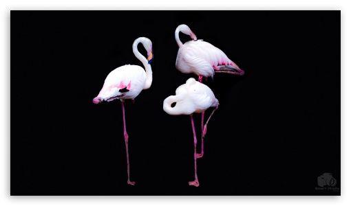 Download Flamingos Hd Wallpaper Wallpaper Desktop Wallpapers