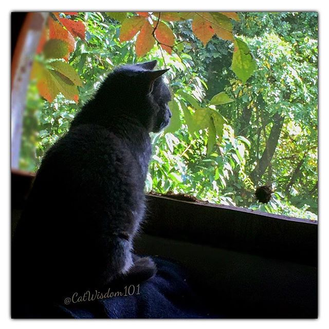 Window watcher Nou Nou has her one eye on autumn. Feeling grateful for her post surgical progress. Rough go for a few days. I  my little weirdo. Thanks for your purrs and prayers  #specialneedscat #oneeyedcat #petsarefamily #w