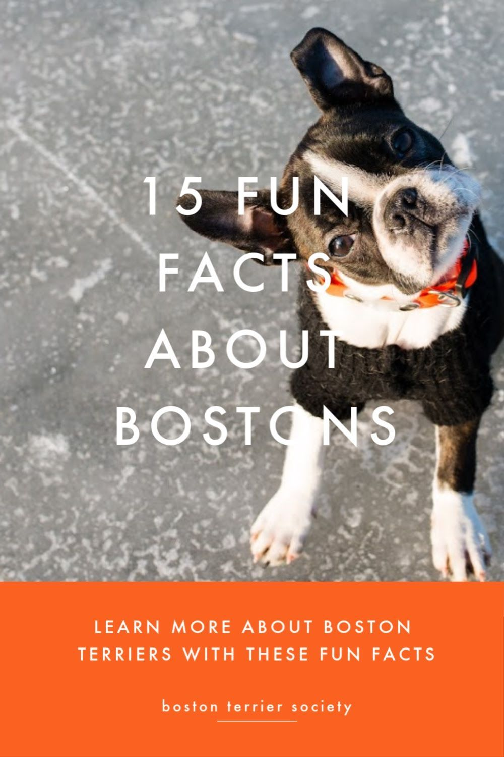 15 Interesting Facts About Boston Terriers In 2020 Boston Terrier Boston Terrier Funny Boston Terrier Lover
