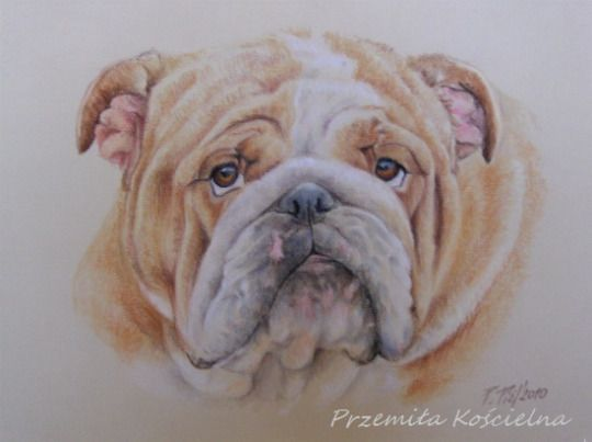 buldog portrait pastel drawing on request by canis art studio dog