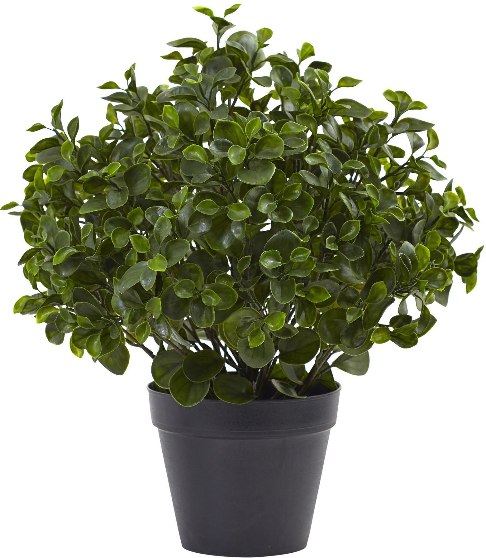 Peperomia desktop plant in pot tops pots and plants