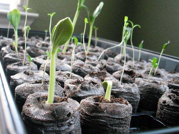 как вырастить рассаду цинерарии дома