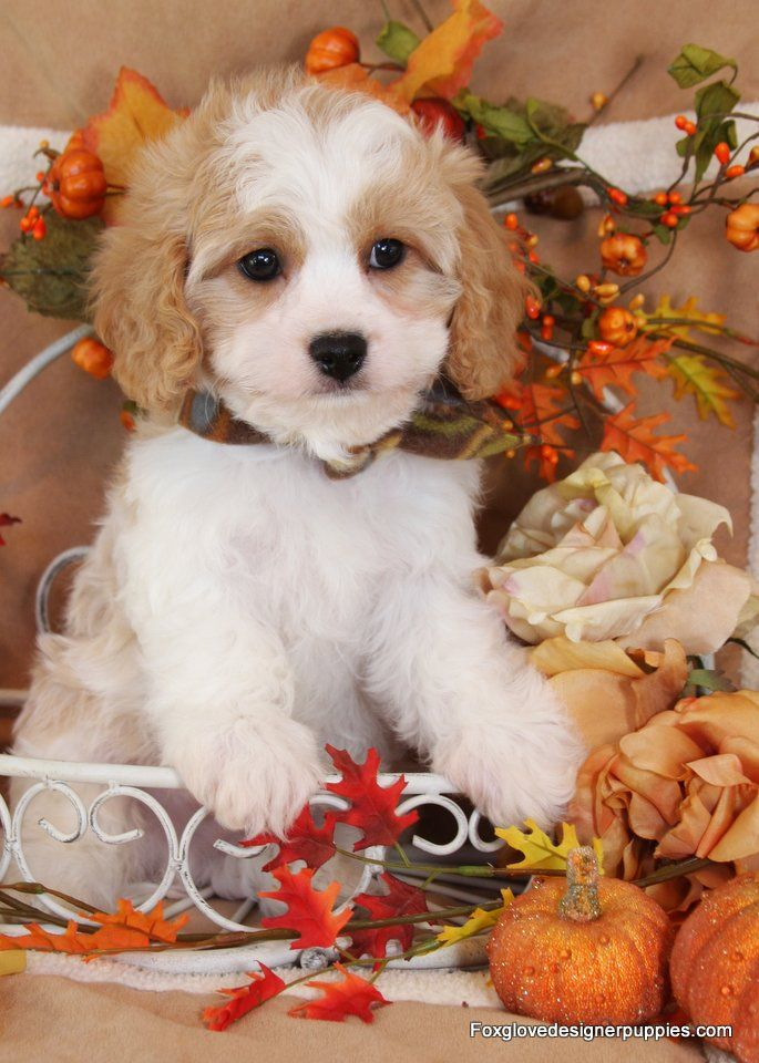Foxglove Designer Puppies Cavachon Puppies Cavachon Puppies And Kitties