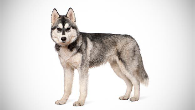 Siberian Husky Dog Breed Selector Daaaaaww So Fluffy I Could Die