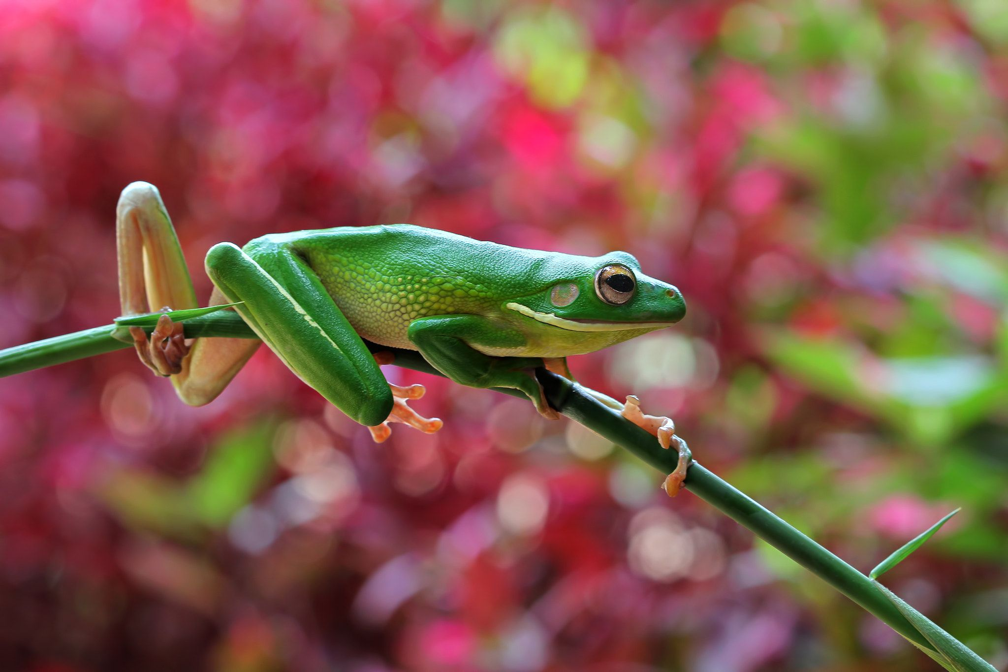 White lipped frog on branch null Frog, White lips, Branch