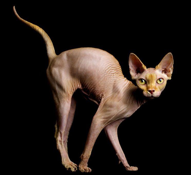 Mark Laita Cat Anatomy Sphynx Cat Hairless Cat