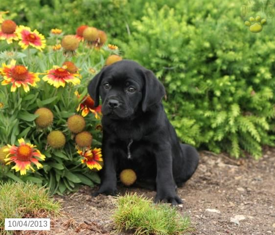 Pugador Labrador Retriever Pug Puppy For Sale Baby Pugs Pug