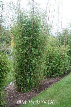Giant Blue Bamboo Borinda boliana (Clumping) ~One of the fastest ...