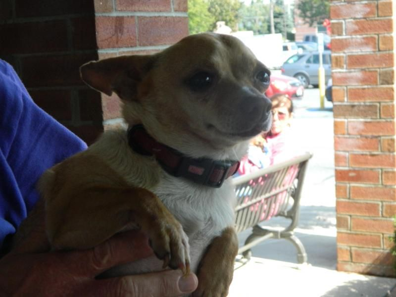 Adopt tater tot on Homeless pets, Chihuahua dogs, Dog cat