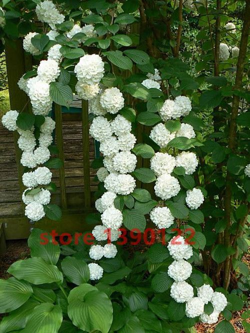 20 Seeds Bag Hydrangea Seed China Hydrangea Flower Seeds 12 Colors Natural Growth For Home Garden Planting Plants Climbing Hydrangea Garden Vines