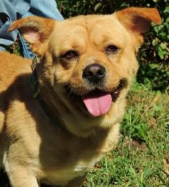 Boo Boo Is Available For Adoption At Greenwood Humane Society In Greenwood Sc 21031449 Dog Chow Chow Welsh Corgi Pembro Corgi Chow Mix Welsh Corgi Corgi Mix