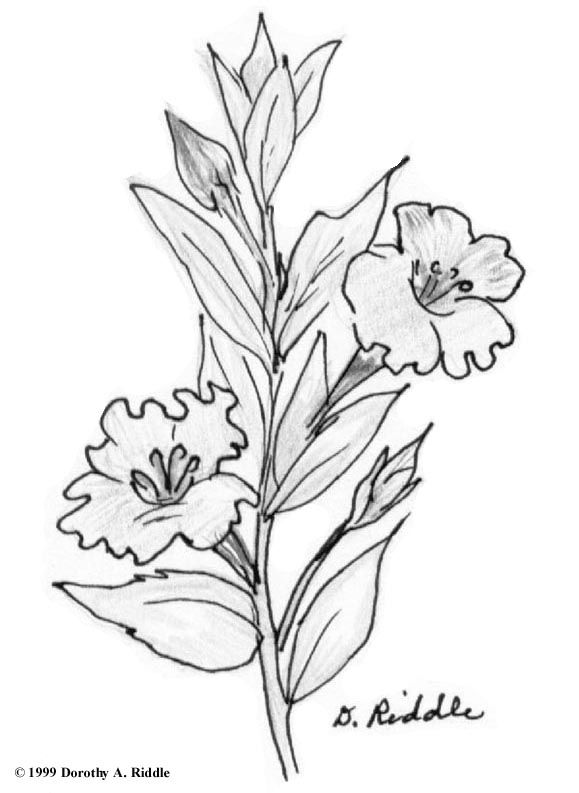 Texas Wildflower Coloring Pages Coloring Page