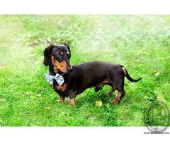 Buy Dachshund Puppies In Mumbai Maharashtra India In Pet Animals
