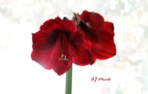 Amaryllis 'Black Pearl'